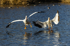 Pelican Paired Landing (Alfred J. Lockwood Photography) Tags: winter bird nature dallas texas afternoon flight pelican landing whiterocklake americanwhitepelican sunsetbay alfredjlockwood