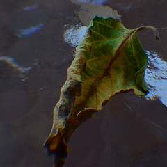 As Life Ebbs (MPnormaleye) Tags: glass table leaf texture color fading dying dead utata 35mm macro detail organic nature