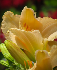 Daylily Flower (mahar15) Tags: plant flower macro nature closeup outdoors petals daylily blooms lullabybabydaylily