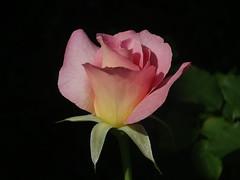 DSC00326 (gregnboutz) Tags: flower flowers bloomingflower bloomingflowers macro macros macroflower macroflowers colorful colorfulflower colorfulflowers rose roses bloomingrose bloomingroses brightrose colorfulrose colorfulroses macrorose macroroses pink pinkflower pinkflowers pinkrose pinkroses