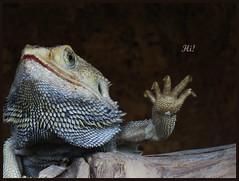 015579a 2016 28 Juni Zoo Olmen C (Ria en Reinier) Tags: animal animals zoo outdoor reptile wildlife leguaan dieren dierentuin reptiel liguana