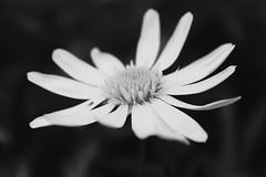Wind of Winter (ojibwaarts) Tags: flores flor flower flowers yellow blackandwhite blackandwhiteph winter invierno viento petalos
