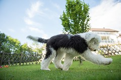 One big step for me (pete.coutts) Tags: oes oespuppy oldenglishsheepdog oldenglishsheepdogpuppy bobtail bobtailpuppy dog doglove hund mylove mydog
