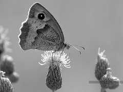 (Px4u by Team Cu29) Tags: butterfly transformation natur treppe makro insekt fleck tier punkt schmetterling kreatur blten fliegen metamorphose disteln flug frhjahr ausruhen wildnis nymphalidae maniolajurtina verwandlung ernhrung fliegend tierwelt naschen tierisch rasten edelfalter lebensdauer speisung naturwissenschaft metaphern umwandlung augenfleck wirbellos grosesochsenauge