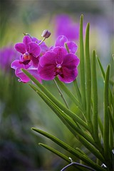 FS9A0142 (dSLRartist) Tags: canon ef70200mm f28l eos 5d mark3 orchid colours flowers sir happy joy nature
