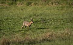 The Roe (MrBlackSun) Tags: morning france sunrise early nikon deer parc roe roedeer auvergne forez naturel parcnaturel d810 livradois nikond810 livradoisforez parcnaturelregionallivradoisforez