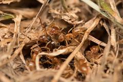 Yellow meadow ant Lasius flavus queen and workers (Steve Balcombe) Tags: yellow meadow ant lasius flavus flying queen workers taunton somerset uk