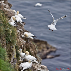 Nest Raider VI_L7Q8208 (See previous shots) (The Terry Eve Archive) Tags: gannets gannetcolony trouphead rspbreserve naturereserve herringgull gull guga gannetchicks prediter clifftop moraycoast northsea aberdeenshire terryevephotography rspb colony