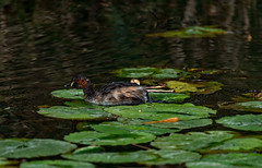 CCE_2049-Edit.jpg (carlopinarello) Tags: zoom d800e nl200500 mtcootthagardens bird nikon200500mmf56 waterbird queensland qld