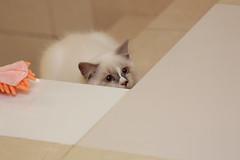 20160809-022 (Snowy Olaf) Tags: kitten britishlonghair       feliscatus  canon 5dmarkiii ef100400mm4556lis f4556