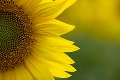 Happiness! ((Raffaella@)) Tags: happiness flora flower giallo yellow august summer campo allaperto sunflower sun macro canon