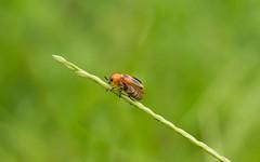 #Pradeepphotography #nikon #nikond3200 #green #insect #macro #kerala #orange #nikkor1855mm (pradeepsubramani) Tags: nikon nikkor1855mm kerala insect nikond3200 pradeepphotography green orange macro