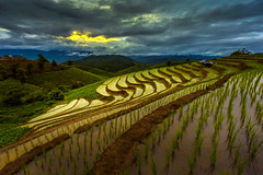 Sunset on rice fields for rice terraces in mount (keangs) Tags: travel outdoor tourism thailand bali life asia food agriculture vietnam china farm terrace work grain activity cottage rice craft harvest tropical traditional farmer tribal cornfield banaue terraced seeding sapling