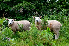Hiding in the foliage (rustyruth1959) Tags: leaves shrub bush trees path countryside rural weeds flowers face eyes ears fleece green grass ewe nature animal sheep foliage riverribble footpath ribbleway lancashire ribchester tamron16300mm nikond3200 nikon