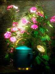 Rose mallow in morning light (Repp1) Tags: saskatchewan flowers mallow rosemallow fleurs lavatera lavatre pink rose green vert wateringcan arrosoir