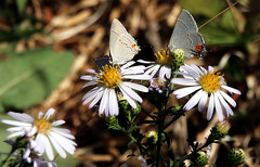 Gray hairstreak pair (TJ Gehling) Tags: insect lepidoptera butterfly lycaenidae hairstreak grayhairstreak commonhairstreak strymon strymonmelinus plant flower asterales asteraceae aster pacificaster symphyotrichum symphyotrichumchilense asterchilensis canyontrailpark elcerrito