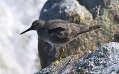 wandering tattler (flyingshadow330) Tags: iona wandering tattler south jetty beach richmond bc