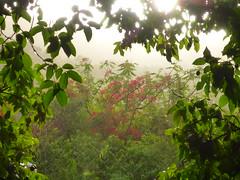 Sunlit Flamboyan (sarowen) Tags: vieques viequespr viequespuertorico isladevieques viequesisland islanena puertorico light sunlight sunlit flamboyant flamboyan floweringtree flower flowers flowering tree trees orangeflowers orange golden green