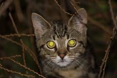 Here's looking at you kit (ArtGordon1) Tags: cat feline fur eyes cateyes animal london england uk walthamstow davegordon davidgordon daveartgordon davidagordon daveagordon artgordon1