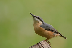 Nuthatch-0296 (Kulama) Tags: nuthatch birds nature wildlife woods westsussex summer canon7d sigma150600c563