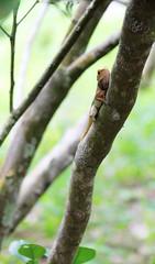 IMG_0484 (trevor.patt) Tags: palauubin singapore lizard