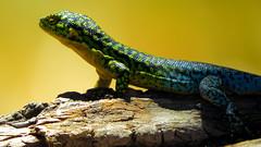 Lizard (Ratee Rats) Tags: parque aguas ramn apoquindo salto trekking santiago chile canon sx50hs
