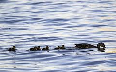 Canard Colvert (Mallard) (yveshebert) Tags: mallard colvert birds oiseaux oiseauxduqubec outaouais ottawariver wildlife qc quebec qubec tyran3