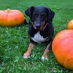 Pufka & Bono pumpkins thumbnail