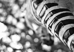 African skies (Mister Blur) Tags: zebra tree bokeh blackandwhite blancoynegro perspective paseodemontejo mrida yucatn nikon d7100 50mm 18 african skies simple minds