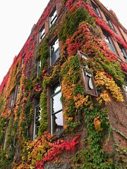 ivy (reidcrosby) Tags: burlington vt vermont ivy fall autumn colors
