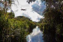 jumpnas (BigZoic) Tags: proboscis jumping nasique monkey borneo indonesia jungle kalimatan