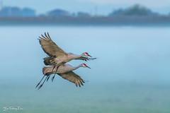 Sanhill cranes landing - Lodi, CA (FollowingNature) Tags: sandhillcranes morningmist lodica morningfog bif followingnature ngc