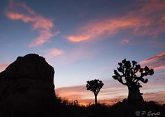 Sunset (Pol/S) Tags: sunset joshuatree silhouette landscape