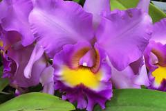 Purple Orchid (GrumpyMan76) Tags: macro flower orchid purple