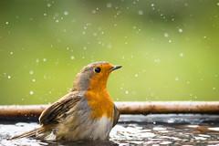 Rouge-gorge (Quentin Douchet) Tags: eau faune nature animal bird droplet fauna gouttedeau gouttelette oiseau rougegorge water waterdrop