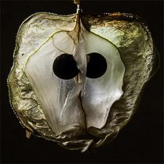 Ballonrebe, geffnete Frucht (blasjaz) Tags: blasjaz botanik frucht fruit pflanzen pflanze plant heilpflanze