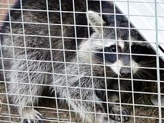 Raccoon (Procyon lotor) (Lana Pahl / Country Star Images) Tags: ilovenature nature natureforallfloraandfauna naturephotography