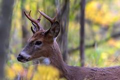 LowBrow (jmishefske) Tags: wehr october nikon nature d500 center whitnall 2016 franklin antler wildlife rack wisconsin whitetail park buck forkie deer milwaukee