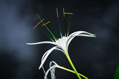 White spider lily with dark background with smoke (jack-sooksan) Tags: spider lily white flower floral flora nature tree star expand small yellow green bright light sunlight petal garden park lowkey dark branch leaf beautiful beauty decoration ornament botany outdoor blossom bloom spring water plant stalk foliage background smoke