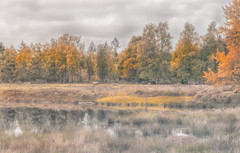cows at a lake (t.boelaars) Tags: cow lake wildlife refelction landscape