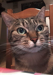 Selfie cat (Franois Tomasi) Tags: cat chats cats smartphone selfie france europe world pov pointdevue pointofview google flickr animal lumire lumires light lights clairage franoistomasi franois tomasi portrait autoportrait regard