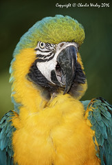 Screamer (wesjr50) Tags: canon 5ds canonef500mmf40isusm staugustinealligatorfarm flash betterbeamer photoshopcc dxoopticspro captivewildlife blue yellow macaw