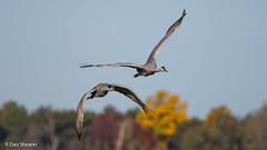 Fall Morning with Sandhill Cranes (Dan Shearer | Photography) Tags: sandhillcranes jasperpulaski jpfwa indiana indianawildlife wildlife birds cranes