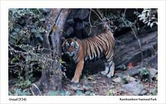 The famed T24 (Gαurαv) Tags: wild india nature forest wildlife tiger jungle majestic ranthambore ustad t24 savetiger kingofjungle