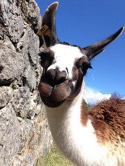 Llama Face (herellybelly) Tags: peru face machu picchu america eyelashes south llama macchu selfie emperoro