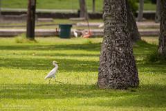 Strutting (kit) Tags: bird hawaii oahu kualoaregionalpark