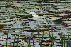 IMG_6115 (groecar) Tags: waterlily waterlilies watergardens lilypads ponds lilyponds waterponds beautifulwaterlilies