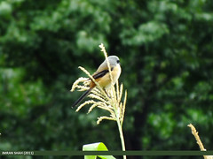 Long-tailed Shrike (Lanius schach) (gilgit2) Tags: pakistan birds geotagged wings wildlife feathers location species hunza category avifauna laniusschach aliabad gilgitbaltistan imranshah longtailedshrikelaniusschach