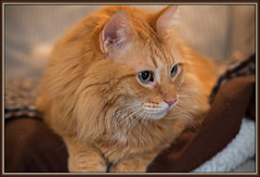 Our Orange Lion (gtncats) Tags: portrait pet bigeyes tabby mainecoon stare orangetabby ef50mm canon70d felinefaces photographyforrecreation infinitexposure