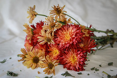 past their prime (mgstanton) Tags: flowers stilllife flower pasttheirprime 52weeks2014